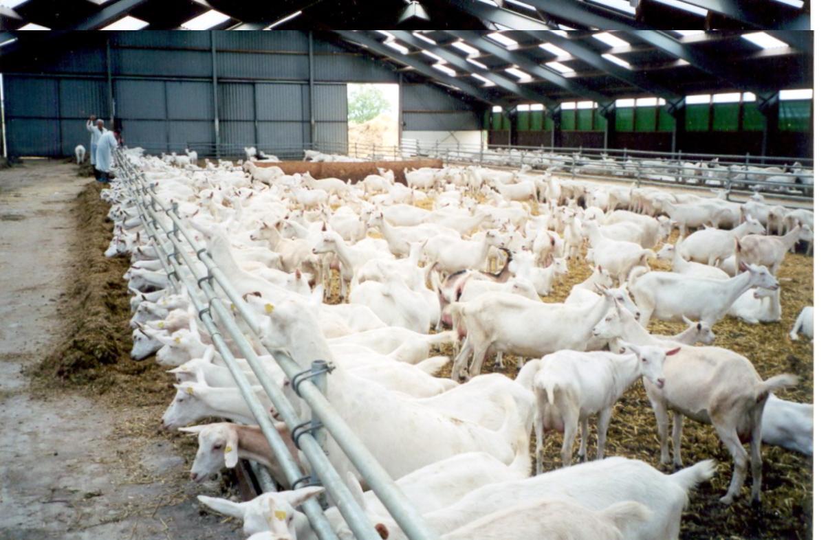 Разведение молочных коз в домашних условиях